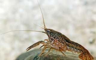Мраморный рак: разведение членистоногих в аквариуме, размножение и требование к содержанию