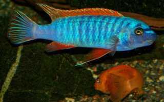 Лучепёрые рыбы: представители класса, их строение и особенности