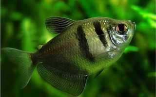 Тернеция карамелька: особенности, содержание аквариумной рыбы и размножение