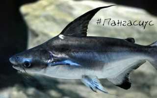 Акулий сом: условия содержания, как кормить пангасиуса, совместимость с другими рыбами