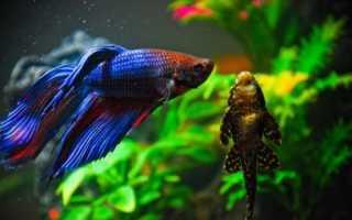 Какие рыбки живут с петушками: перечень видов, которые можно держать в одном аквариуме с бойцовскими рыбками