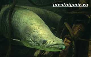 Арапаима гигас: общие сведения о рыбе arapaima, особенности размножения пираруку, рацион питания
