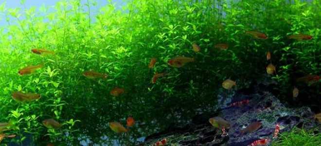 Хемиантус микрантемоидес: содержание и уход за аквариумным растением, размножение жемчужной травы