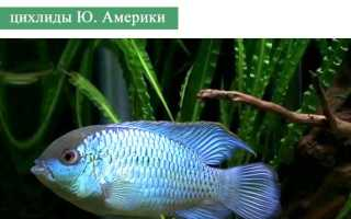 Условия содержания наннакара блю неон: питание, совместимость с другими рыбами