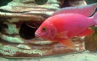 Рыба цихлида Аулонокара Красная Орхидея: внешний вид,содержание и кормление, особенности размножения
