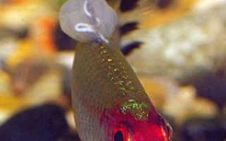 Дермоцистидиум и дермоцистидиоз у аквариумных и прудовых рыб.