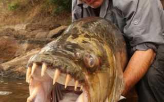 Рыба голиаф: как выглядит африканский тигровый гидроцин, особенности содержания и обитания