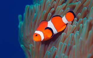 Рыба-клоун: описание вида, где живёт, чем питается и условия содержания её в аквариуме