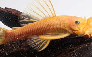Сом анциструс обыкновенный: общее описание и условия обитания, содержание, уход и разведение в аквариуме