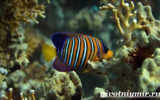 Рыба-ангел: как выглядит, естественная среда обитания и условия содержания в аквариумах, интересные факты