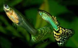 Виды гуппи: какие бывают, названия и описание красивых разновидностей рыбки, уход и содержание