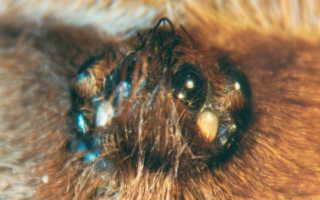 Птицеед брахипельма ваганс: описание вида, условия содержания, рацион паука и разведение в неволе