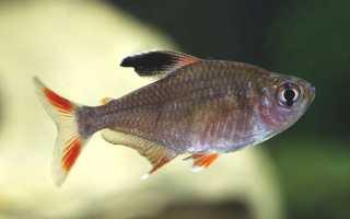 Аквариумная рыбка орнатус: описание, особенности содержания и ухода, сравнение обыкновенного и розового вида