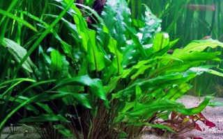 Криптокорина: описание аквариумного растения, популярные виды, особенности содержания